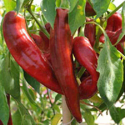 Big Jim Hot Chili Pepper 15 Seeds