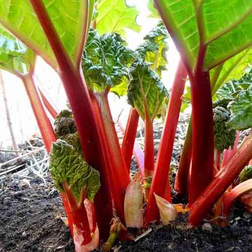 Rhubarb Glaskin's Perpetual 100 Fruit Seeds