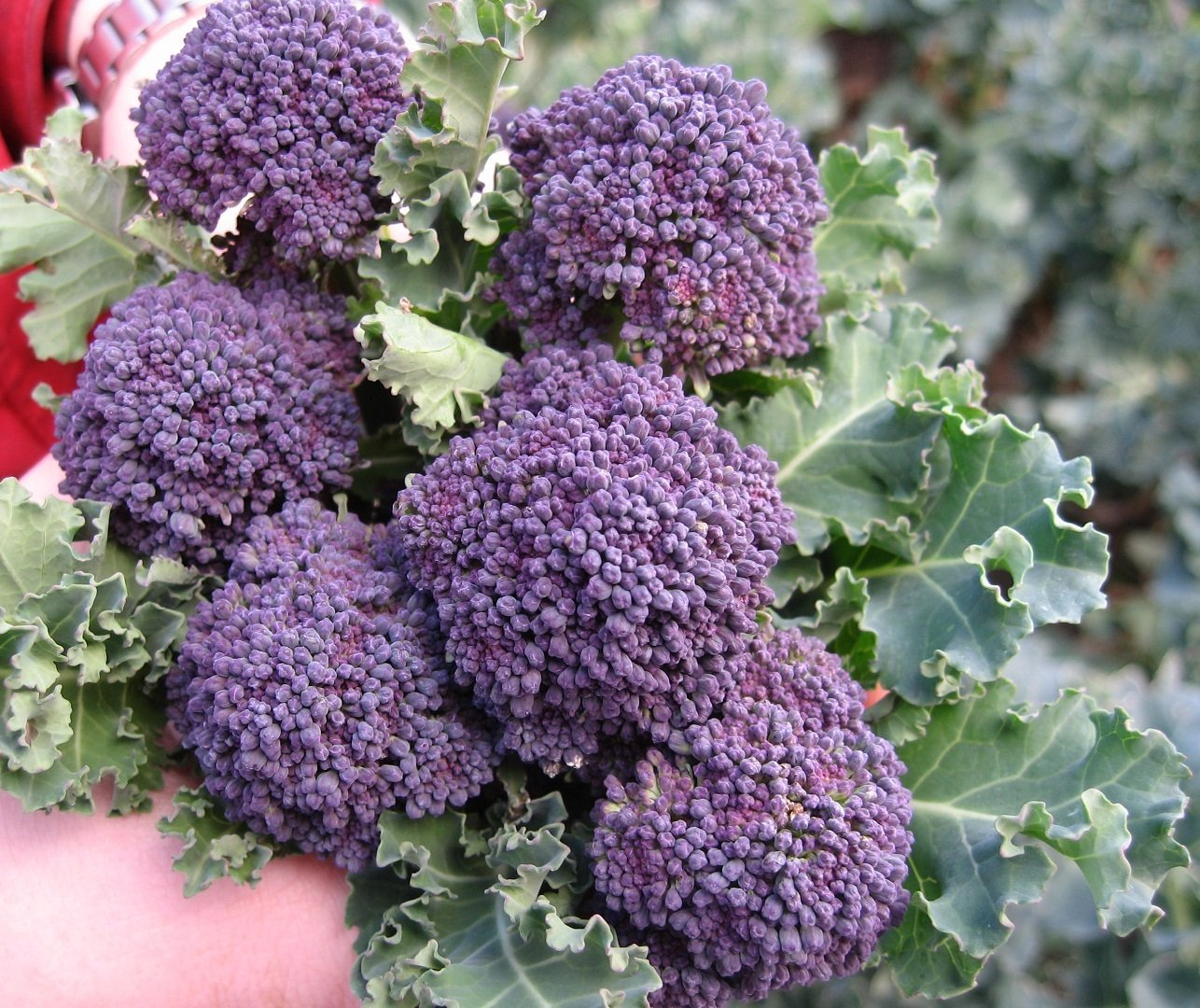 Broccoli Early Purple Sprouting 650 (2g) Seeds - VIRIDIS HORTUS