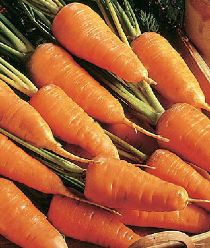 Carrot Chantenay 2 Red Cored 750 Vegetable Seeds