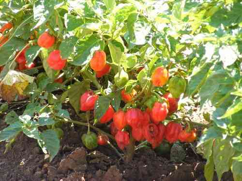 Habanero Caribbean Red Hot Chili 80 Seeds