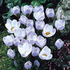 20 x Crocus Chrysanthus Blue Pearl Spring Bulbs