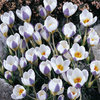 20 x Crocus Chrysanthus Blue Bird Bulbs