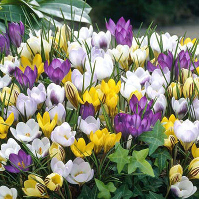 20 x Crocus Mixed Colour Species Spring Bulbs