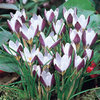 20 x Crocus Ladykiller Species Spring Bulbs