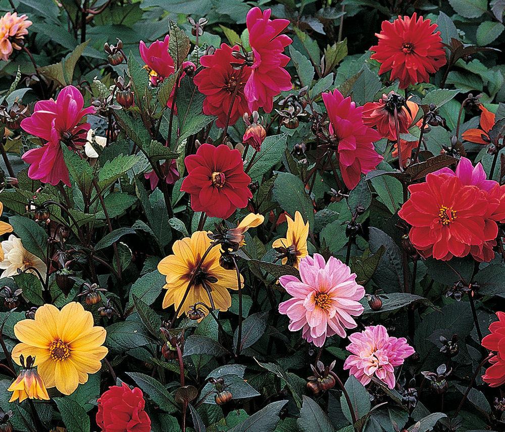 Dahlia Redskin Mixed 40 Premium Flower Seeds Viridis Hortus