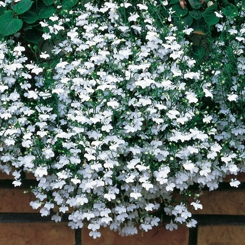 Lobelia White Fountains Trailing Flower Seeds Viridis Hortus