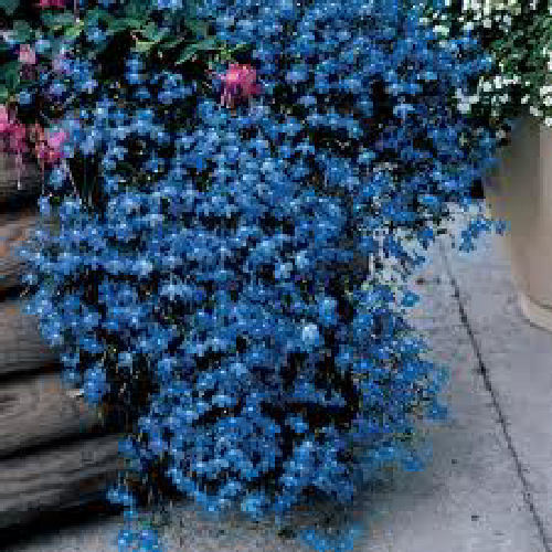 Lobelia Trailing Blue Fountains Flower Seeds Viridis Hortus