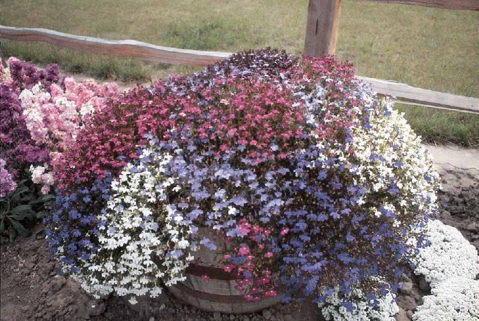 Lobelia Fountains Formula Mix Flower Seeds Viridis Hortus