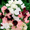 Sweet Pea Athena Mix 50 Flower Seeds