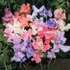 Sweet Pea Heirloom Pastels (65) Seeds