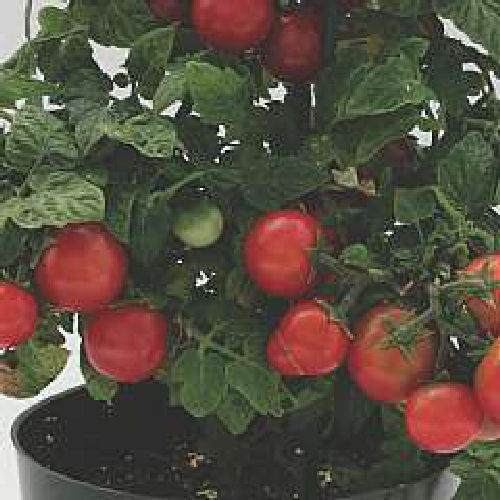 3 x Tomato - Sweet N Neat Cherry Red Plug Plants