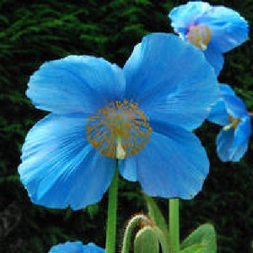 Meconpsis lingholm blue poppy flower seeds viridis hortus meconpsis lingholm meconpsis lingholm blue poppy flower mightylinksfo