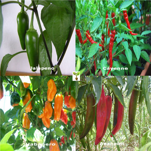 CHILLI COLLECTION Contains 4 Seed Varieties