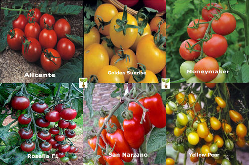 TOMATO COLLECTION Contains 6 Seed Varieties