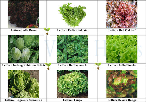 LETTUCE COLLECTION Contains 9 Seed Varieties