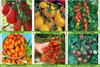 Cherry/Plum Tomato Collection 6 Seed Varieties