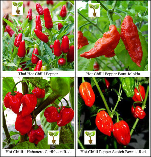 Hot Chilli Collection 4 Varieties Chilli Seeds