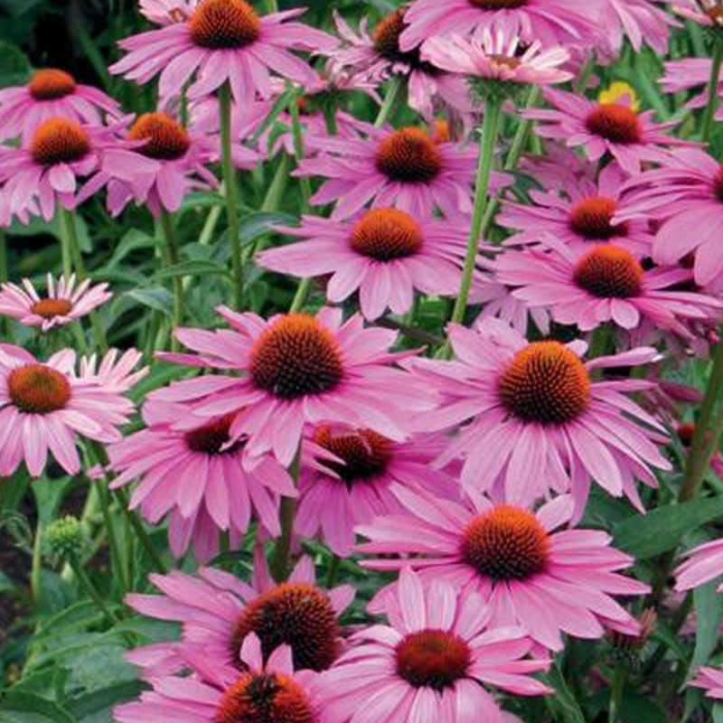 echinacea purpurea primadonna deep rose pink viridis hortus. Black Bedroom Furniture Sets. Home Design Ideas