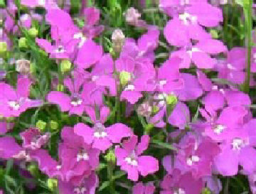 Lobelia Riviera Rose Bedding Flower Seeds Viridis Hortus