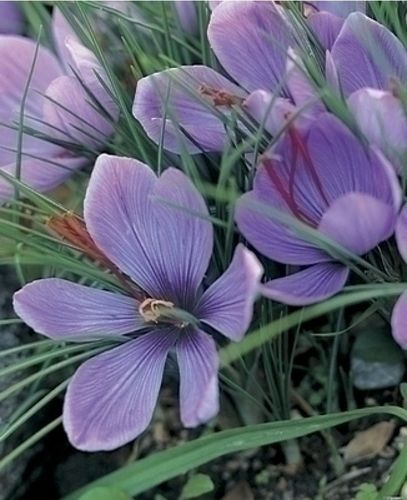 20 x Saffron Crocus Bulbs (Crocus sativus)