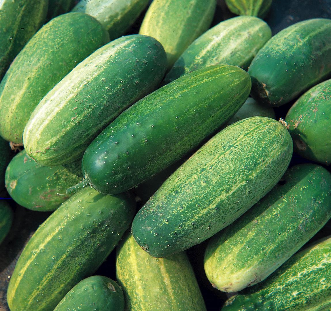 Cucumber Pickling Gherkin Rufus Vegetable EU Standard Garden Seeds UK