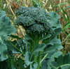 Kailaan Kichi No8 Chinese Broccoli 110 Seed