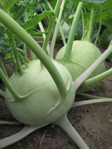 KohlRabi Delicacy White Vegetable Seeds