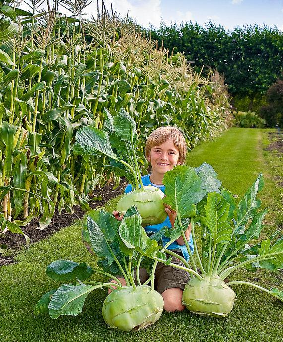 Kohlrabi Giant Superschmelz Vegetable Seeds Viridis Hortus