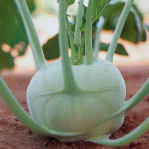 KohlRabi Giant Superschmelz Vegetable Seeds