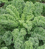 Kale Borecole Dwarf Green Curled 500 Seeds