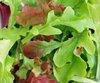 Lettuce BabyLeaf Salad Mix ViridisHortus own Mix