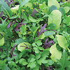Lettuce Bright & Spicy BabyLeaf Salad Mix Seeds