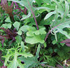 BabyLeaf Lettuce Frilly Salad Leaf Mix