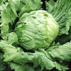 Lettuce Great Lake 659 Vegetable Seeds