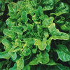 Lettuce Bridgemere TZ 1233 Vegetable Seeds
