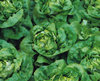 Lettuce Buttercrunch Vegetable Seeds
