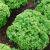 Lettuce Lollo Bionda Vegetable Seeds