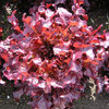 Lettuce Roselee 300 Pelleted Vegetable Seeds