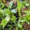 Lettuce Tuscan Salad Mix 740 Vegetable Seeds