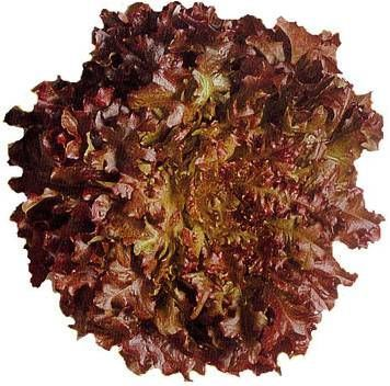 Lettuce Red Batavia BabyLeaf Vegetable Seeds