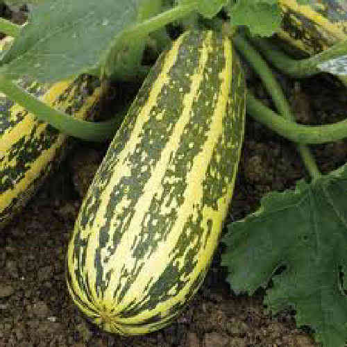 Marrow F1 Tiger Cross 6 Vegetable Seeds