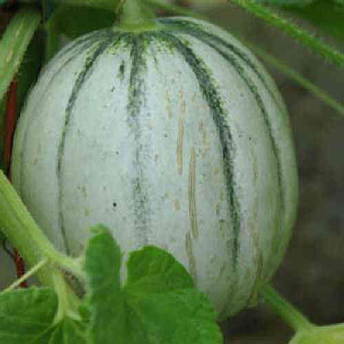 Melon Charentais 10 Heirloom Variety Fruit Seeds