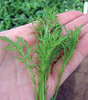Mustard, Green Fire F1 BabyLeaf Vegetable Seeds