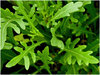 Mustard Green Frills BabyLeaf Vegetable Seeds