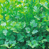 Parsley Plain Leaved or French Herb Seeds