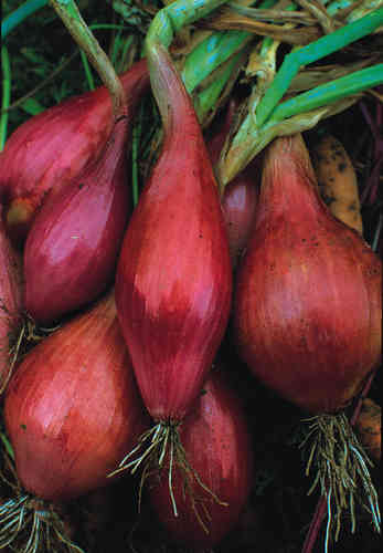 Onion Long Red Florence 720 Vegetable Seeds