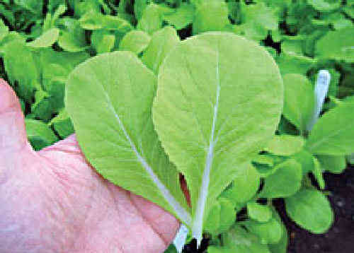 Pak Choi Golden Yellow F1 Salad Babyleaf Seeds