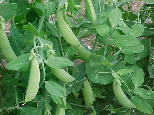 Pea Style Second Early Veagetable Seeds