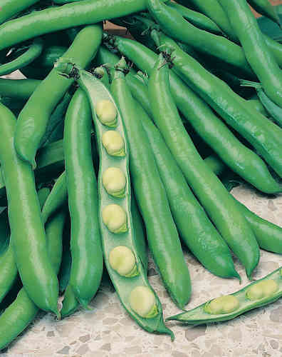 Broad Bean Bunyards Exhibition Vegetable Seeds